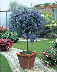 Arbre En Pot : arbre aux gentianes solanum rantonnetii feuillage semi ~ Premium-room.com Idées de Décoration