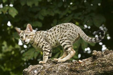 Ekskluzīvi kaķi - Spoki