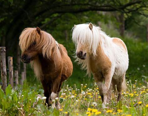 ponies pony cute horses horse shetland animals pretty ponys animal mini baby cream colored bishop crisp apple livestock miniature zoo