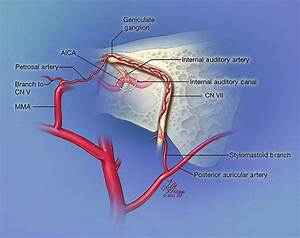 Illustration Of Facial Nerve Arterial Supply  The Tympanic And Mastoid