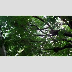 (143) Fruitless Mulberry Youtube