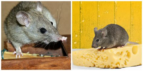 difference between rat and mouse what s the difference between mouse and rat dustin pest control
