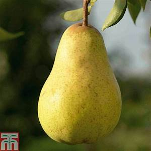 Pear 'Williams' Bon Chretien' | Thompson & Morgan  Pear