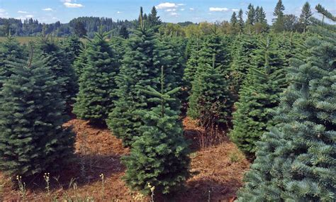 noble pine christmas tree noble fir tree christmas trees moon valley nurseries 1514