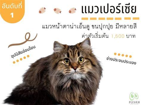 อันดับที่ 1 สายพันธุ์แมวที่คนไทยนิยมเลี้ยง แมวเปอร์เซีย
