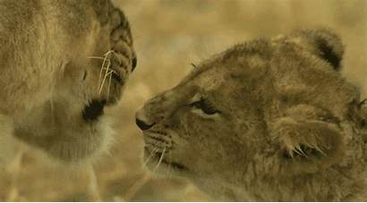 Lion Animals Lioness Adorable Cub Africa Gifs