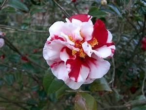 Camellia Japonica Winterhart : online plant guide camellia japonica 39 dixie knight supreme 39 dixie knight supreme camellia ~ Eleganceandgraceweddings.com Haus und Dekorationen
