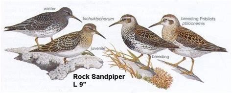 rock sandpiper oregon shore birds