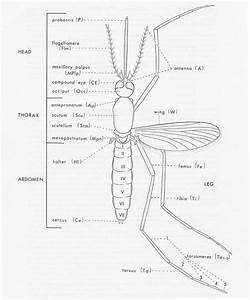 Mosquito Diagram | www.pixshark.com - Images Galleries ...