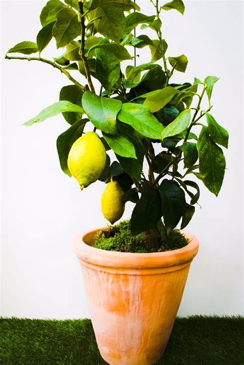 caring for lemon trees in pots lemon tree plant care images