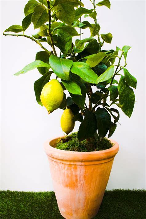 pot for lemon tree lemon tree plants battersea flower station garden centre