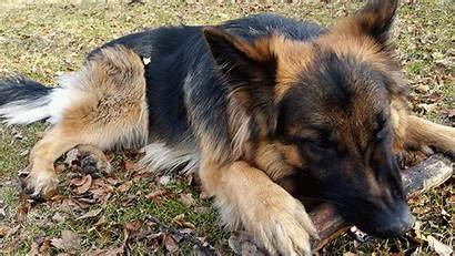 German Shepherd Gifs Dog Giphy Imgur 1x1
