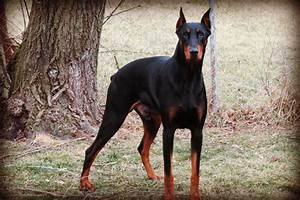 Warlock Doberman Pinscher 3 Hd Wallpaper ...
