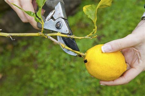 limone potatura vaso quando potare il limone potature potatura pianta limone