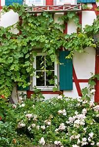 Wann Wein Pflanzen : wilder wein jungfernrebe pflege anleitung vermehren ~ Orissabook.com Haus und Dekorationen