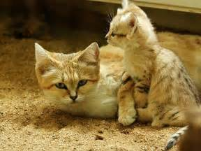 sand cat for sand cats where the adults are kittens and the kittens