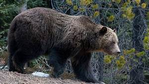 Grizzly Bear Population In Alberta U0026 39 S Foothills Has Doubled