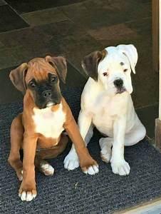 Best 25+ White boxer dogs ideas on Pinterest | White boxer ...