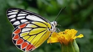 Durée De Vie D Un Moucheron : combien de temps vit un papillon ~ Farleysfitness.com Idées de Décoration