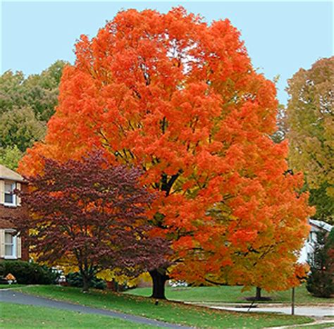 best maple tree for fall color 3 trees for fall color autumn blaze maple is not the only