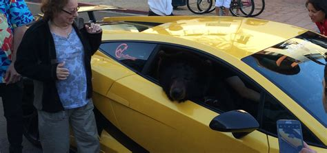 Lamborghini With Real Bear In Passenger Seat Causes