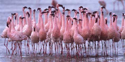 how do flamingos get their pink color flamingos a makeover for the birds huffpost