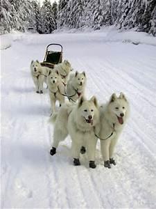 Sled Dog Breeds © Balto