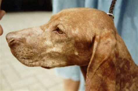skin idiopathicgranulomatous sebaceous adenitis  dogs