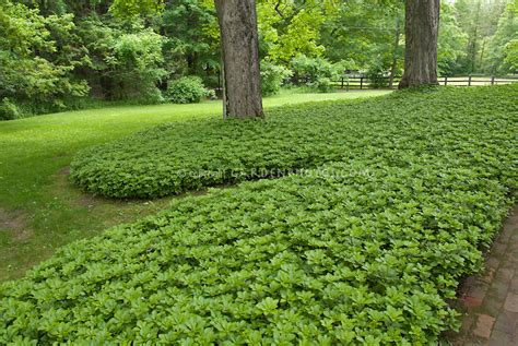 best trees for coverage ground cover lawn pachysandra plant flower stock photography gardenphotos com