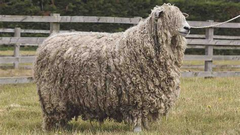 Lincoln Longwools Thriving In Home County