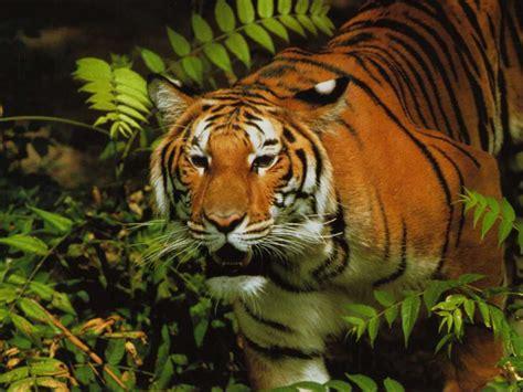 Wild Animal Wallpaper Desktop  Amazing Wallpapers