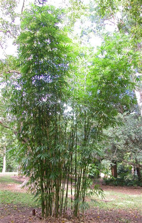bamboo varieties bamboo australia 187 clumping species
