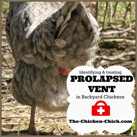 Prolapse Vent In Chickens Causes Treatment Graphic