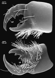 Chelicera  Calchas Birulai  Sp  Nov   Female  Nemrut Da U011f U0131