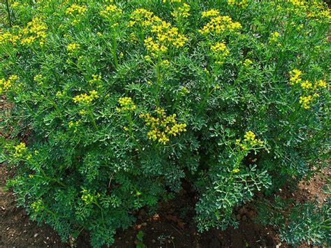 rue plants google images