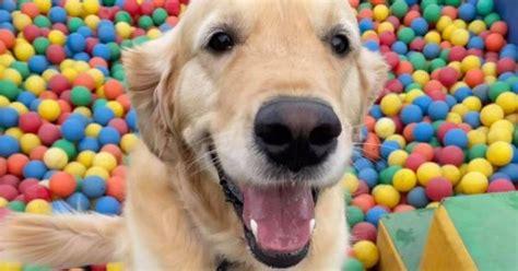 cachorros de encierro divirtiendose en el juego suave de perros del gran manchester