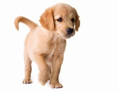 Golden Retriever Puppy Dog Transparent Retrievers Pluspng