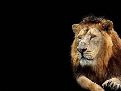 Lion Wallpapers 3d Nature Desktop Backgrounds Wallpapersafari