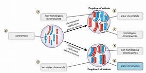 This Diagram Shows A Diploid Nucleus  2n 8  In