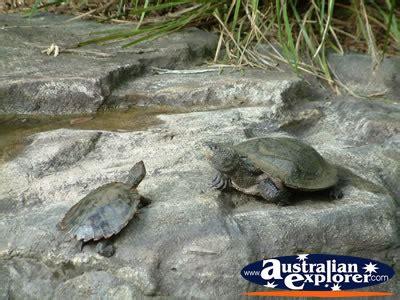 australia zoo turtles photograph australia zoo turtles