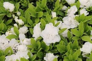 AZALEA Japonica Brocéliande viviane ® 'Walsnowruf' Azalée