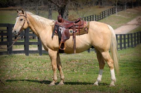Quarter Horse gelding t
