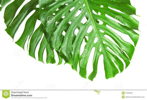 Two Tropical Leaves Isolated On White Stock Image Image