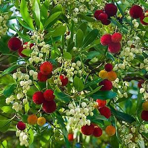 Immergrüne Pflanzen Winterhart : erdbeerbaum immergr ne pflanzen pflanzen erdbeerbaum ~ A.2002-acura-tl-radio.info Haus und Dekorationen