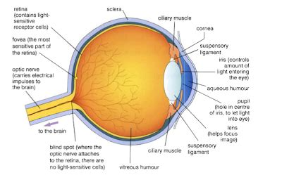 michelles biology  eyes