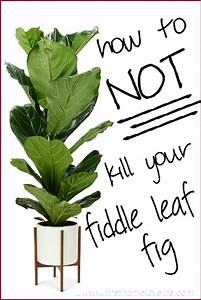 Fiddle Leaf Fig Care - First Home Love Life