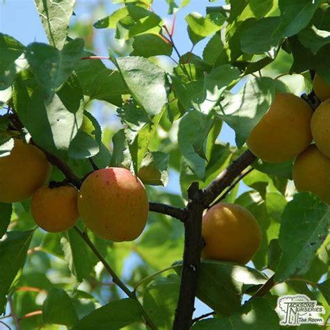 Buy Apricot - Prunus armeniaca Moorpark in the UK