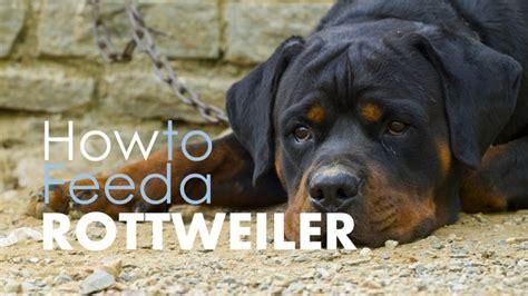 dog food  rottweilers   options