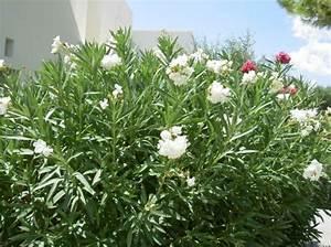 Weiß Blühende Sträucher : foto oleander wei ~ Michelbontemps.com Haus und Dekorationen