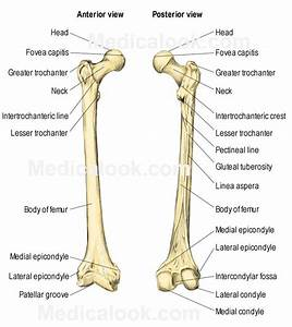 The Femur Consists Of Four Parts  The Head  Greater